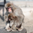 Stock Photo: Japanese Macaque (Macaca fuscata), also known as the Snow Monkey