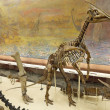 Dinosaur skeleton - Stockfoto