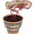 Begonia rex — Stock Photo #24331977