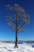 Lonely frozen tree in the steppe in the winter — Stockfoto