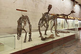 Dinosaur skeletons — Stock Photo