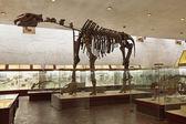 The skeleton of a dinosaur — Stock Photo