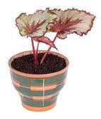 Begonia rex — Stock Photo