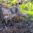Stock Photo: Young Fox in their natural habitat in spring