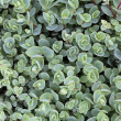 Stock Photo: Sedum ewersii
