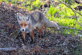 Young Fox in their natural habitat in the spring — Stock Photo