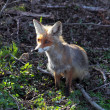 Stock Photo: Young Fox