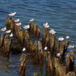 Gulls — Stock Photo #29989387