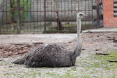 Struthio camelus ostrich — Stock Photo