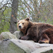 Brown Bear (Ursus arctos) lies on a rock — Stock Photo