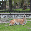 Lama guanicoe Guanaco in the open aviary of the zoo — Stock Photo