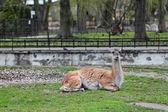 Lama guanicoe Guanaco in the open aviary of the zoo — Stock Photo