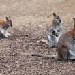 Kangaroo — Stock Photo #34083603