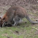 Kangaroo — Stock Photo #34083629