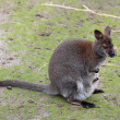 Kangaroo — Stock Photo #34083795