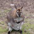 Macropus rufogriseus Red-necked wallaby, close-up — Stock Photo