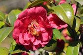 Camellia japonica — Stock Photo