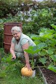 Woman pensioner growing pumpkins — Stock Photo