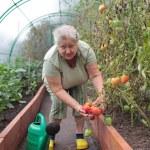 Tomato growing — Stock Photo #45185877
