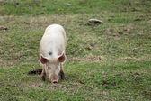 Pig. — Stock Photo