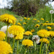 Dandelions — Stock Photo #23260918