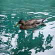 Duck — Stock Photo #23264692