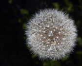 Dandelion Isolated — Stock Photo