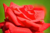 κόκκινο τριαντάφυλλο — Φωτογραφία Αρχείου