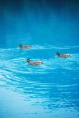 Ducks in the lake — Stock Photo