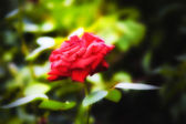 Beautiful red rose in the garden — Stock Photo