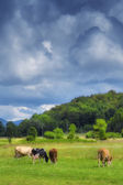 Cows on a meadow on a sunny  spring day — Stock fotografie