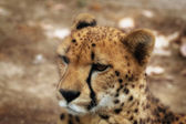 Cheetah portrait — Stockfoto