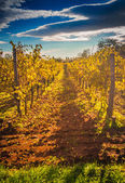 Mediterranean Vineyard on the hill — Stock Photo