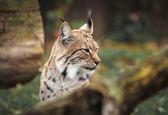 Eurasian lynx in forest — Stock Photo