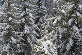 Zimní borovice — Stock fotografie