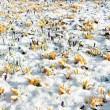 Crocus flowers in snow — Stock Photo