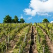 Vineyard with great blue sky — Stock Photo