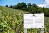 Lemberger grapes vineyard — Stock Photo