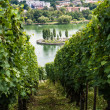 Stock Photo: Vineyards in Stuttgart
