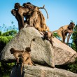 Monkeys on a rock — Stock Photo