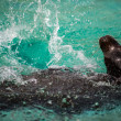 Sea lion (seal) in water — Stock Photo