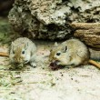 Two gerbils — Stock Photo