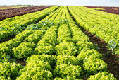 Lettuce fields — Foto de Stock