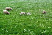 Cute sheep family — Stock Photo