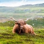 Resting Scottish Highland cow — Stock Photo #48819999
