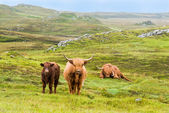 Scottish Highland Cows in the rain — Stock Photo