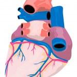 Heart Organ Retro — Stock Vector
