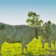 cows — Stock Photo #14864705