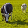 cows — Stock Photo #14865569