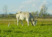 Single cow — Stock Photo